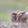 Florida Burrowing Owlet dancing in the rain.