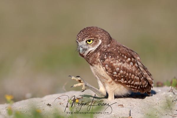 Florida Burrowing Owlet looking at his foot.