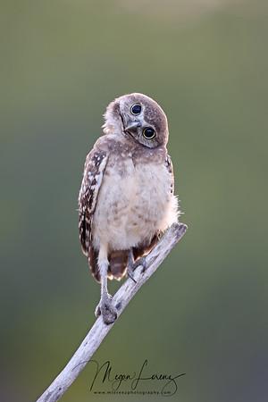 Cute Burrowing Owlet in Florida