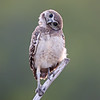 Cute Burrowing Owlet in Florida