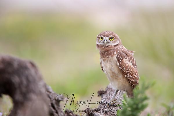 Curious Florida Burrowing Owlet