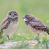 Two Burrowing Owlets in Florida