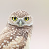 Florida Burrowing Owlet staring at the photographer.