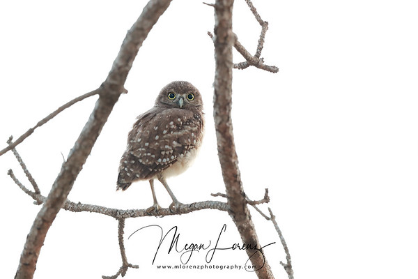 Burrowing Owlet exploring in Florida.