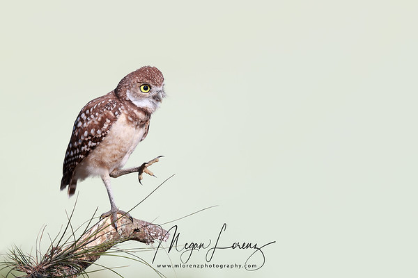 Funny Burrowing Owlet with an outstretched leg in Florida