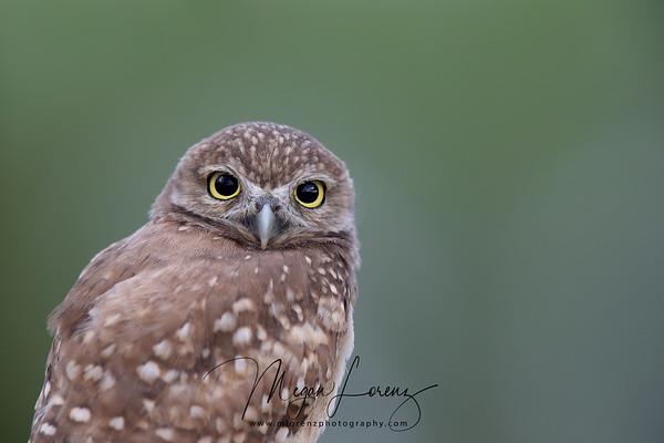 Closeup of a curious Burrowing Owlet in Florida