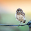 Burrowing Owlet balancing on a rope in Florida.