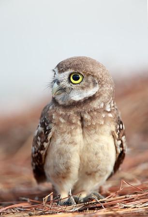Burrowing Owlet in Florida.