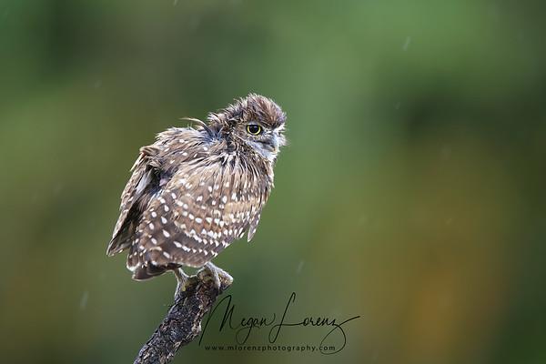 Wet Burrowing Owlet in the rain in Florida.