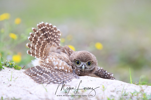 Many people would be disappointed to have rainy days while visiting Florida but I couldn't have been happier. We had almost three full days of rain and the Burrowing Owls put on quite a show! However....too much rain in the spring can mean problems for the owls if burrows get flooded and the owlets are not old enough to fly and wait things out. There was an adult pair and 6 owlets at this particular burrow and luckily all the owlets were far advanced in their development.