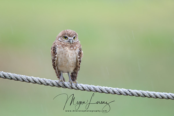 Burrowing Owlet perching on a rope during a rainstorm in Florida.