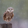 Wet Burrowing Owlet after a heavy rainfall in Florida.