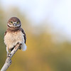 Cute Burrowing Owlet perched on a stick in Florida