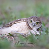 Burrowing Owlet laying on her side after being knocked over by a sibling in Florida.