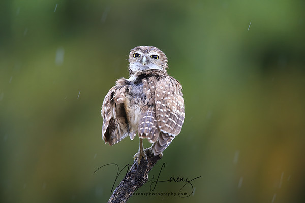 Wet Burrowing Owlet preening during a storm in Florida.
