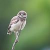 Burrowing Owlet in Florida