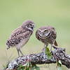 Burrowing Owlet (on left) annoying his Mom in Florida