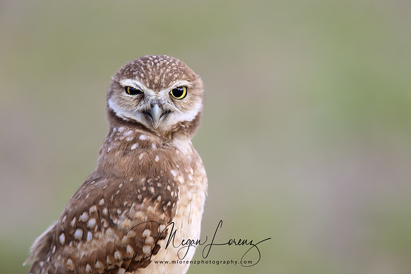 Burrowing Owlet making a funny face in Florida