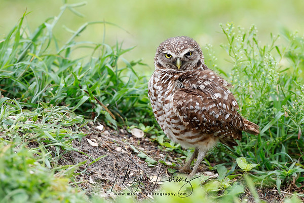 Adult Burrowing Owl in Cape Coral, Florida.