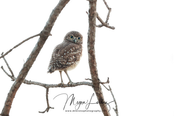 Burrowing Owlet exploring in Florida