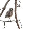 Burrowing Owlet exploring in Florida