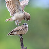 Two Burrowing Owlets interacting in Florida.