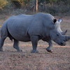 Rhino - Lone Ranger