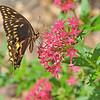 Butterfly in Brunswick