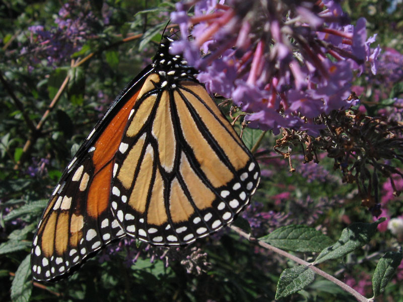 Monarch butterfly.<br /> Shot at Powell Gardens in September.