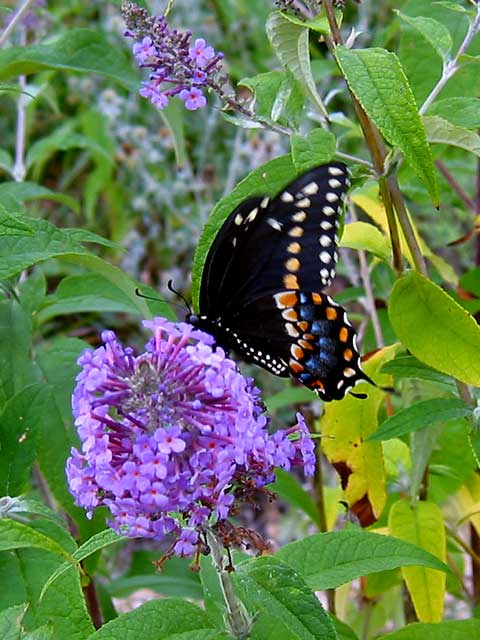 A lucky shot-- this butterfly was visiting the butterfly bush in the backyard.
