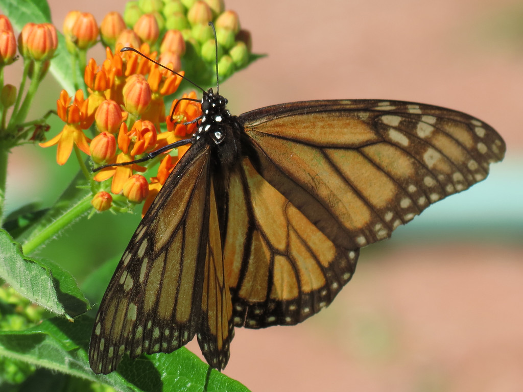Monarch butterfly on orange asclepias.