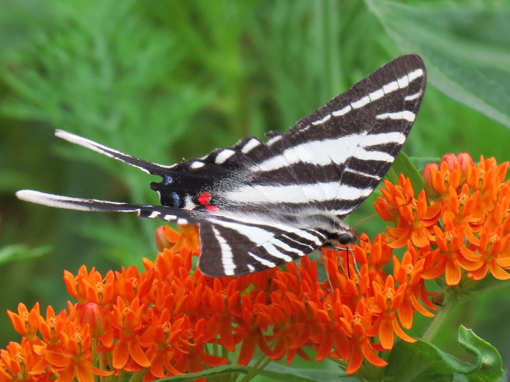 Zebra Swallowtail butterfly on native Butterfly Weed.