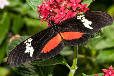 Doris Butterfly