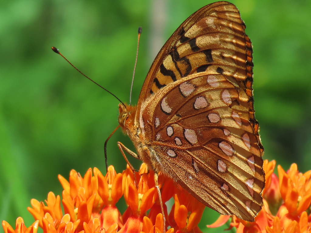 Great Spangled Fritillary Butterfly on orange Asclepias or Butterfly Weed.