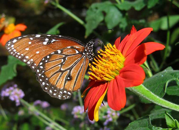 Monarch butterfly on tithonia.