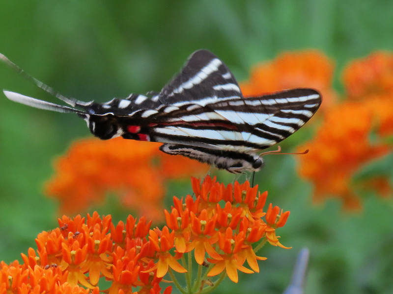 Zebra Swallowtail butterfly on native Butterfly Weed.