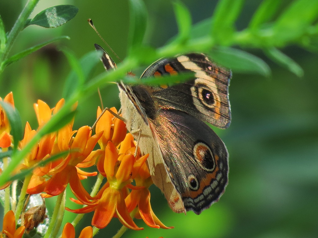 Common Buckeye Butterfly on the Asclepias growing near the Brick Patio.