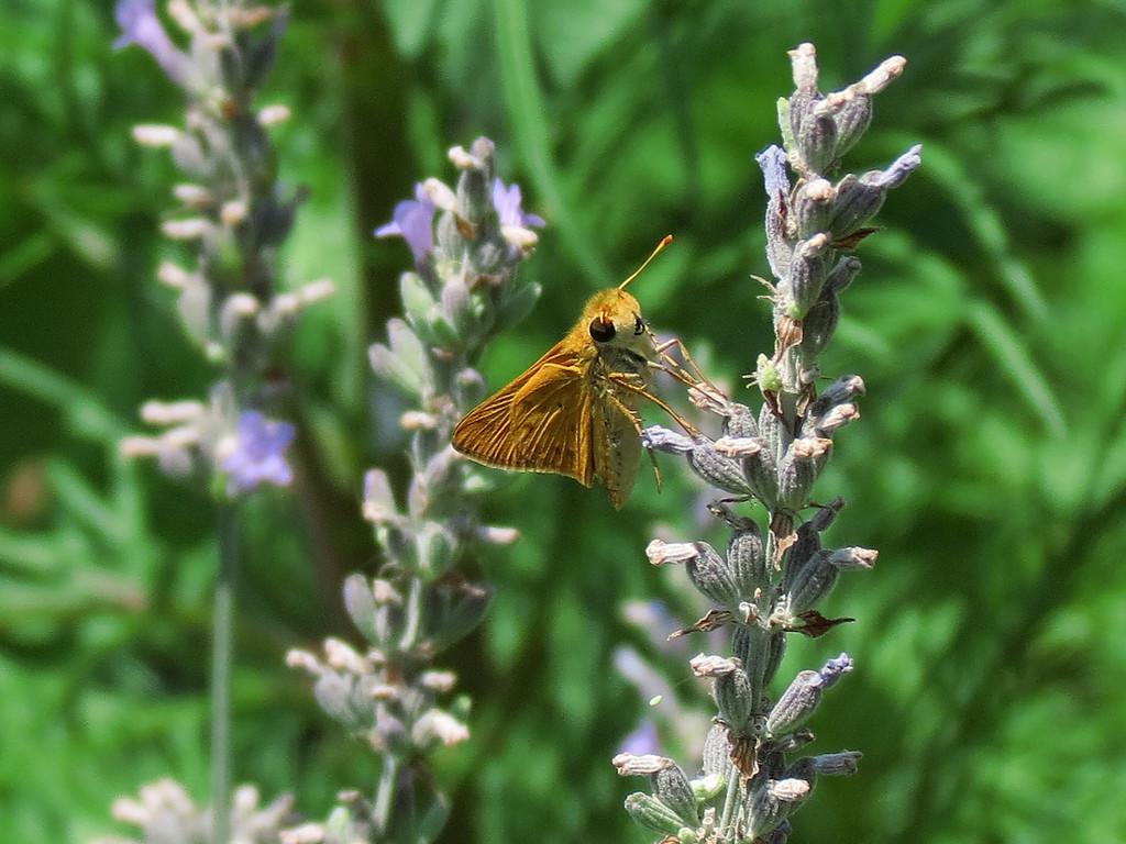 Skipper butterfly feeding on Lavender.