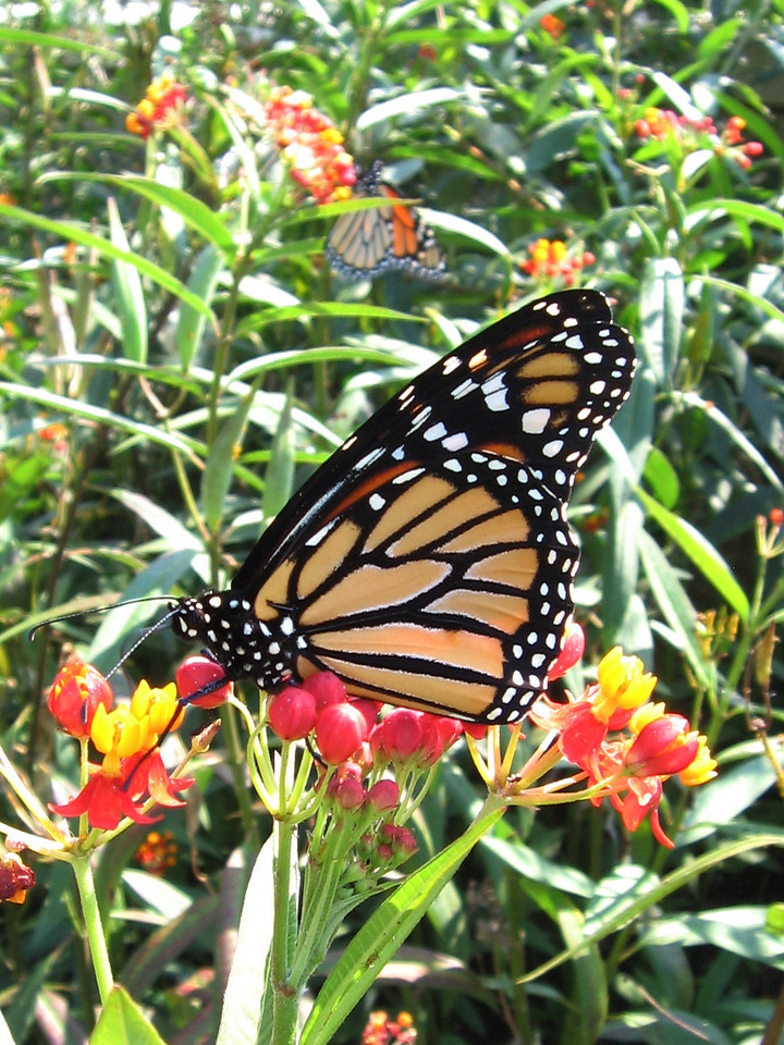 A couple of monarch butterflies on a bright September afternoon.<br /> They are feeding on the nectar of asclepias.
