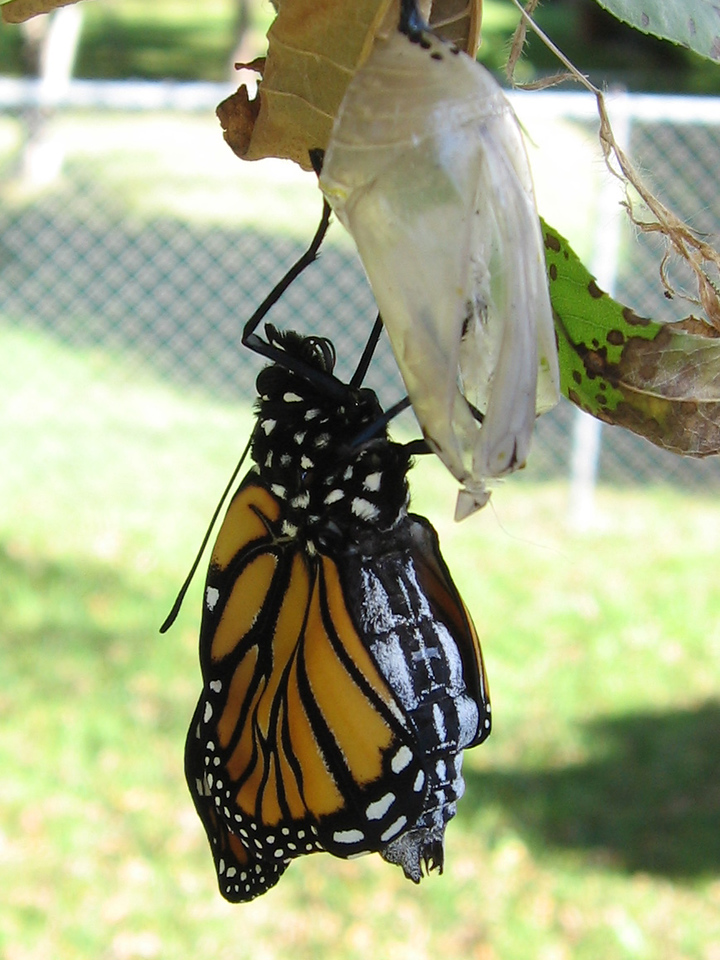 This is how the butterfly looked within a few minutes<br /> after emerging from the chrysalis.