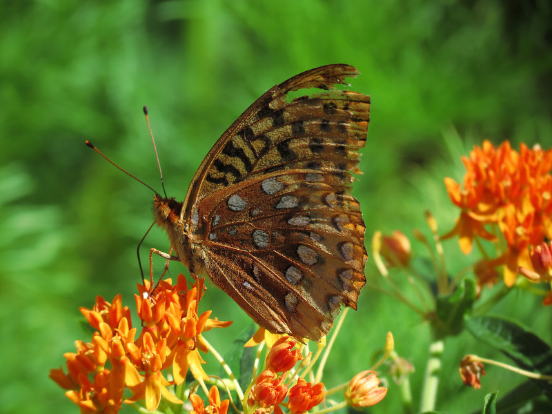 Great Spangled Fritillary on Asclepias.