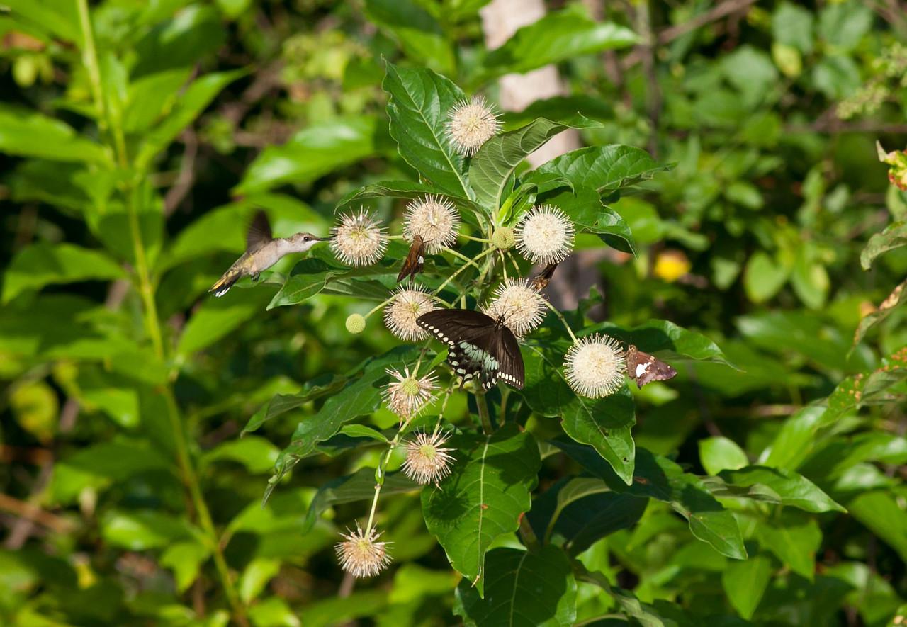 Ruby Throated Hummingbird<br />  Eastern Tiger Swallowtail dark form<br />  Silver Spot Skippers