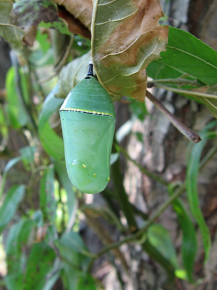 I found this monarch chrysalis in the front garden.
