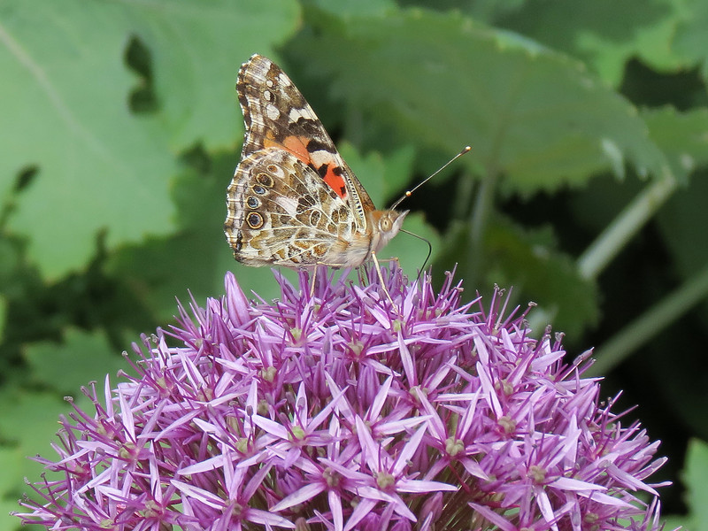 Painted Lady -- Vanessa cardui