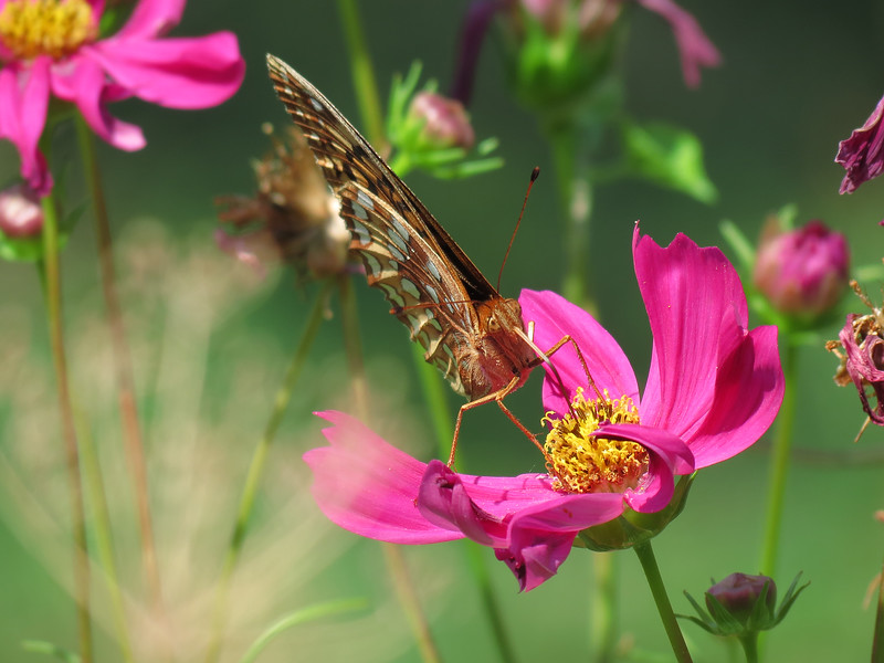 Great Spangled Fritillary Butterfly on the pink cosmos.