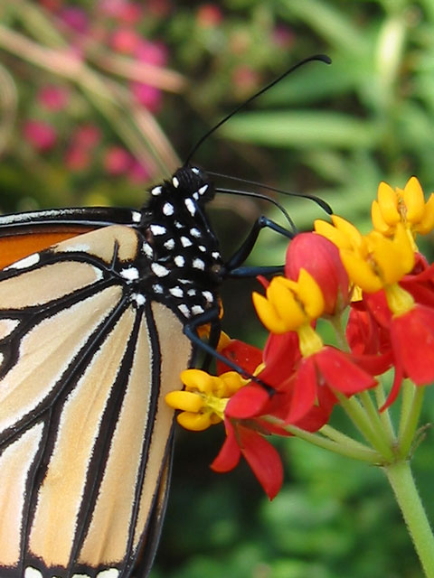 A close-up showing the black and white spotted body of the monarch butterfly.