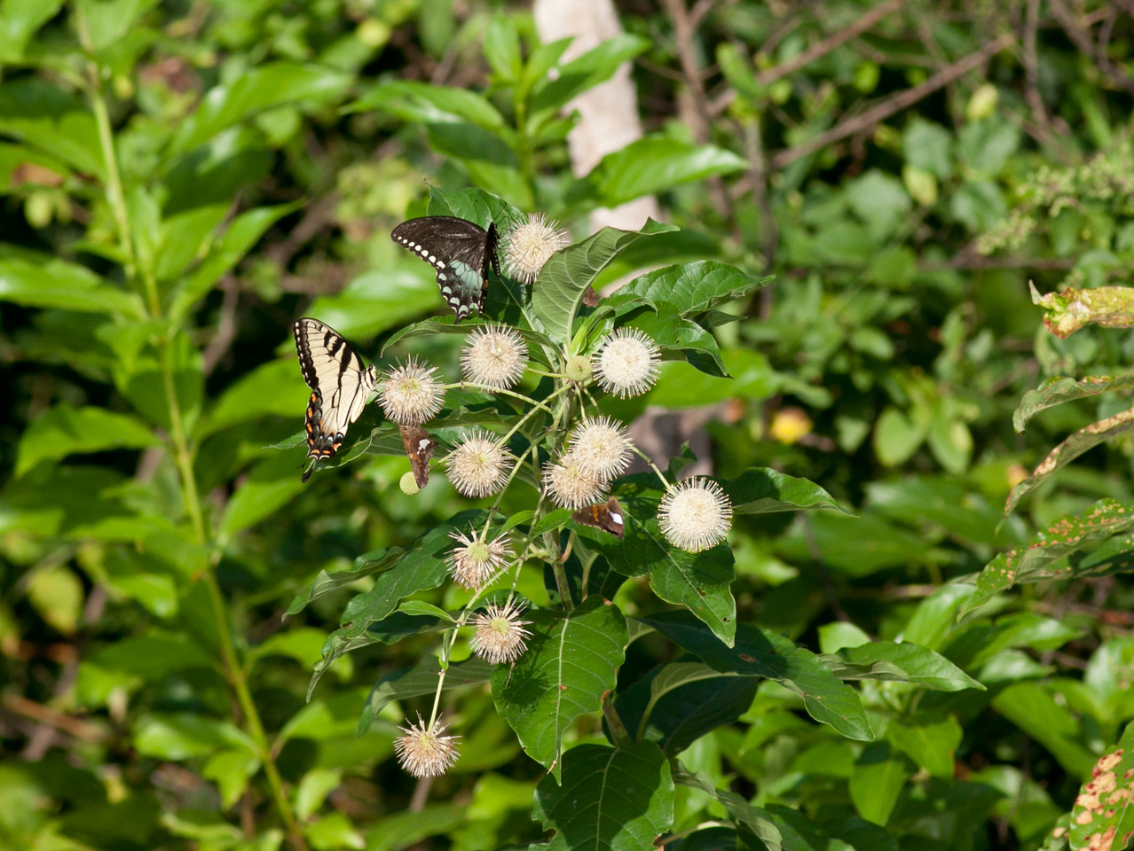 Eastern Tiger Swallowtail light form<br /> Eastern Tiger Swallowtail dark form<br /> Silver Spot Skippers
