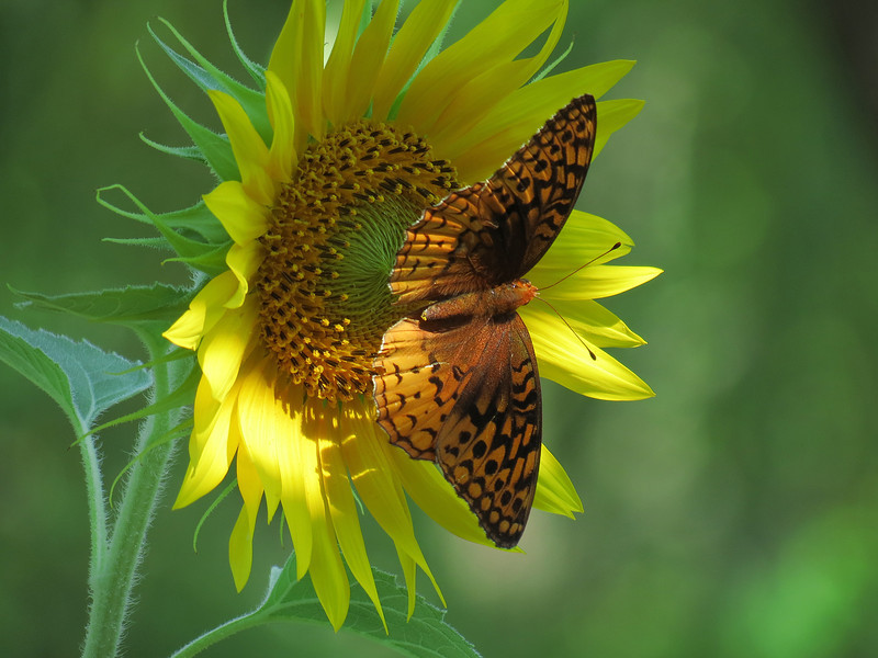 Great Spangled Fritillary Butterfly on the yellow sunflower
