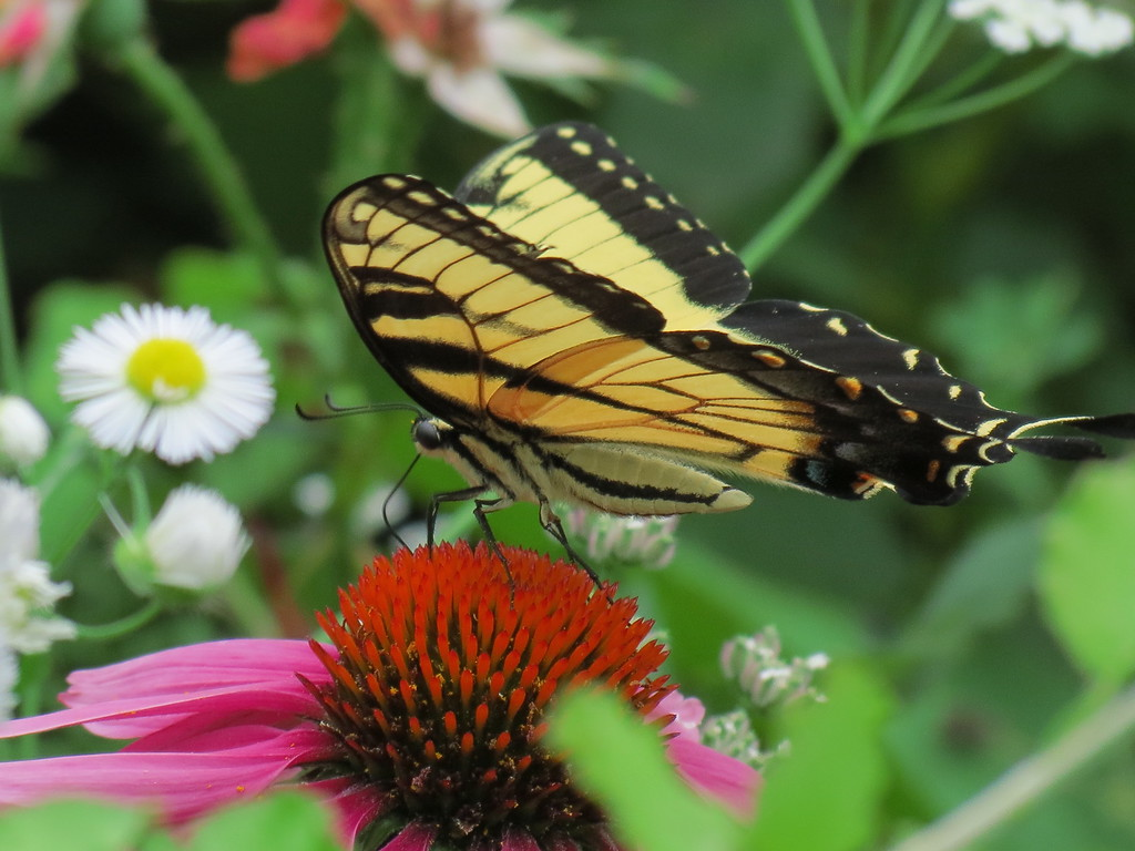 Swallowtail Butterfly on a Purple Coneflower in the Front Garden.