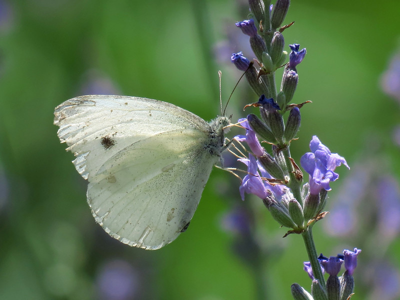White Butterfly on the Lavender near the Brick Patio.